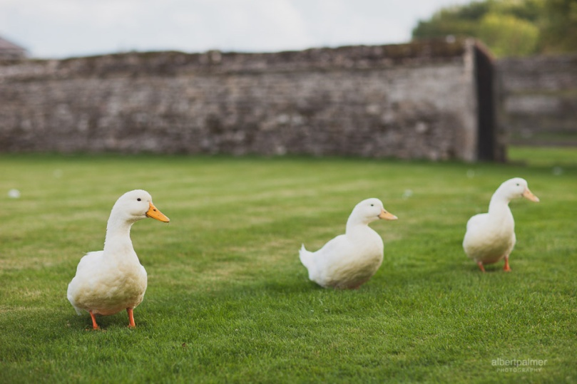 ablert-palmer-photography-caswell-house-ducks